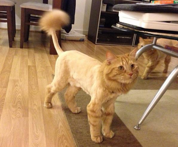 Gatos também podem ser tosados para terem maior conforto. Foto: Eduardo Picoli / Instagram