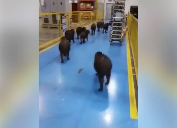 Visita inusitada de um grupo de capivaras em uma fábrica viralizou nas redes sociais | Foto Reprodução