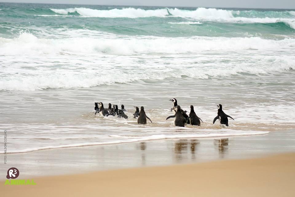 19 pinguins-de-magalhães foram soltos na manhã desta segunda-feira (15) no Moçambique | Foto Nilson Coelho/R3 Animal