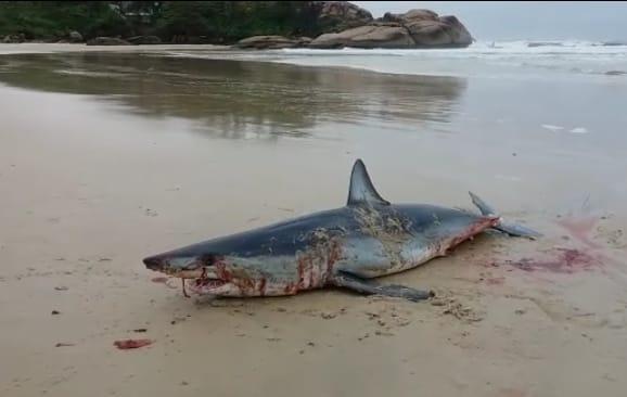 Tubarão foi encontrado morto na Joaquina | Reprodução