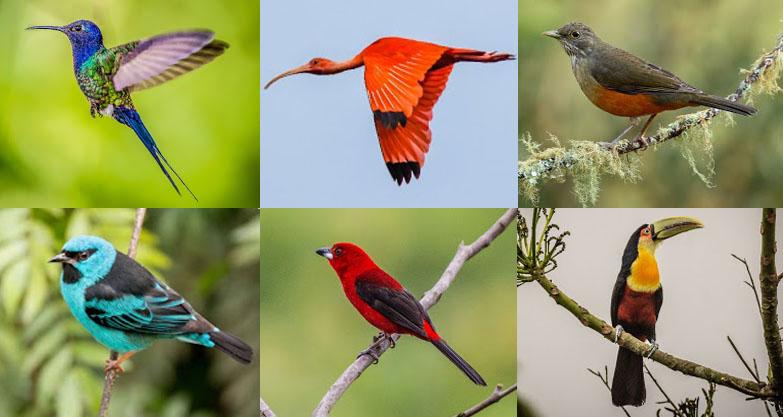 Beija-flor-tesoura, Guará, Sabiá-laranjeira, Saí-azul, Tiê-sangue, Tucano-de-bico-verde. Qual destes belos pássaros nativos da região representa melhor Joinville? | Fotos: Divulgação