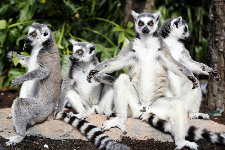 Os lêmures ficaram mais conhecidos após o sucesso do filme Madagascar | Foto Divulgação/Internet