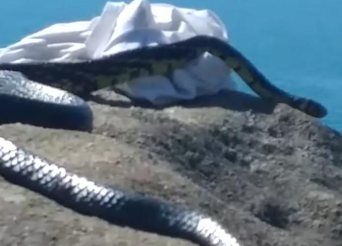 Cobra de mais de 2m é avistada em costão de Florianópolis | Reprodução/Vídeo Redes Sociais