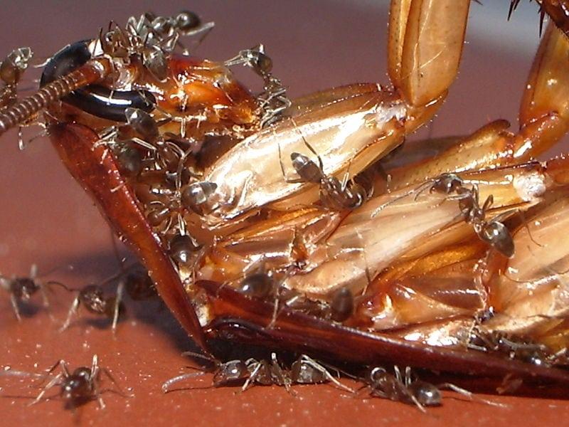 """""""O perigo das formigas doceiras"""""""
